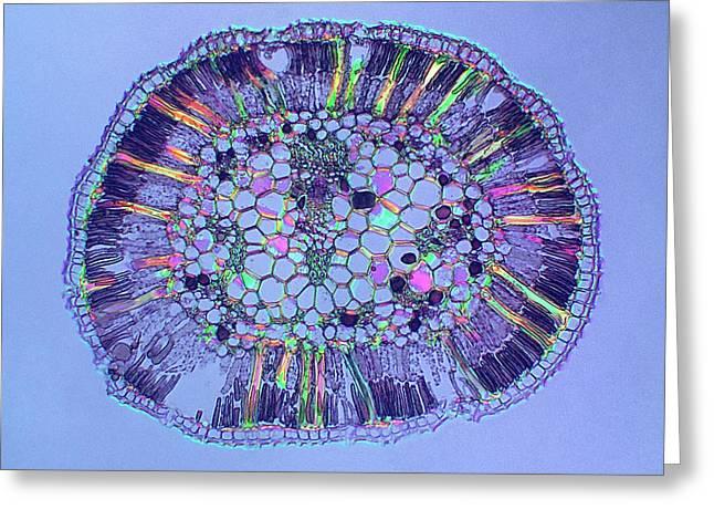 Hakea Drupacea Leaf Greeting Card by Steve Lowry