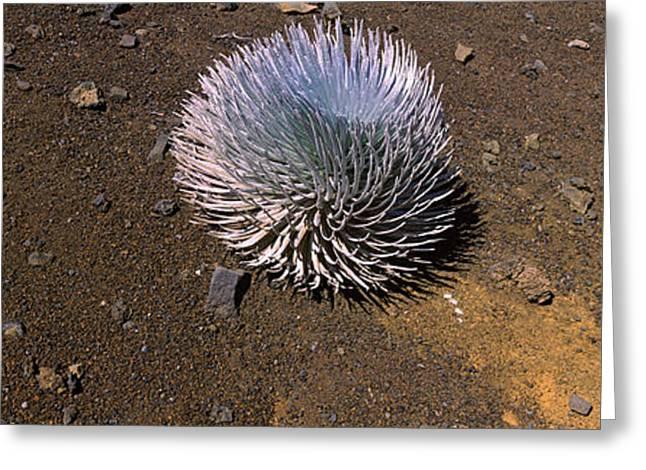 Haleakala Silversword Argyroxiphium Greeting Card by Panoramic Images