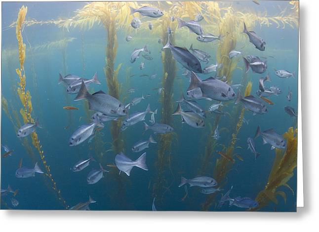 Halfmoon School And Giant Kelp Cortes Greeting Card by Richard Herrmann