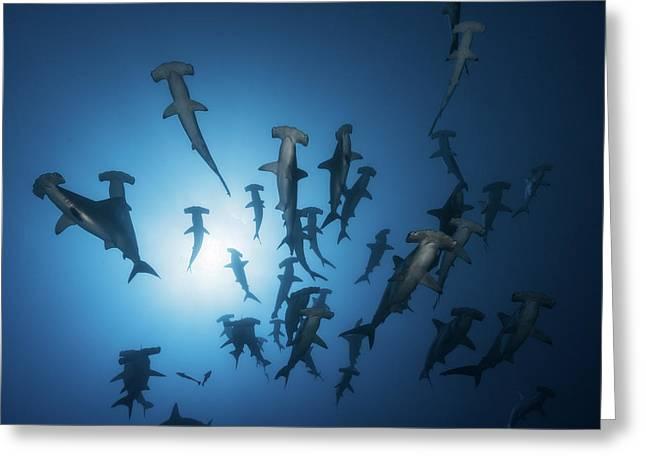 Hammerhead Shark - Underwater Photography Greeting Card