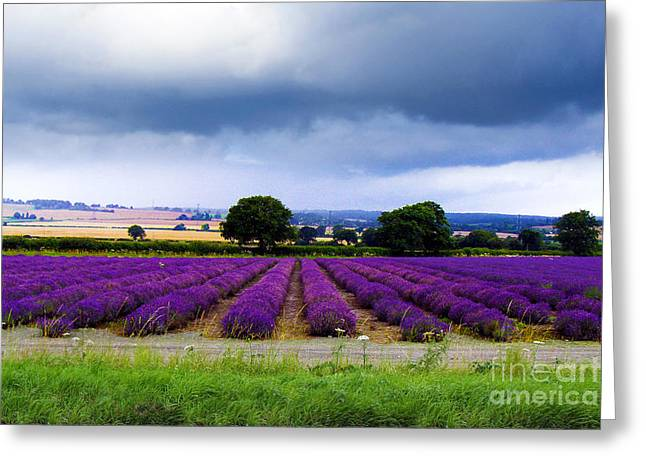 Hampshire Lavender Field Greeting Card by Terri Waters
