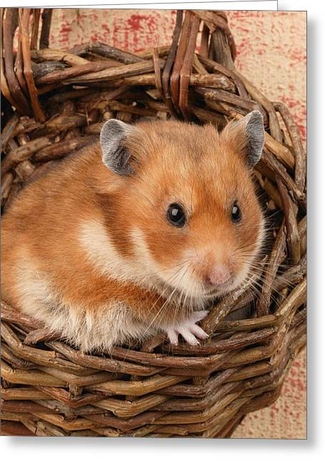 Hamster In Basket Greeting Card by Greg Cuddiford