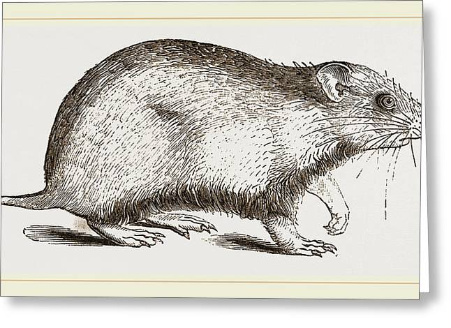 Hamster Greeting Card by Litz Collection