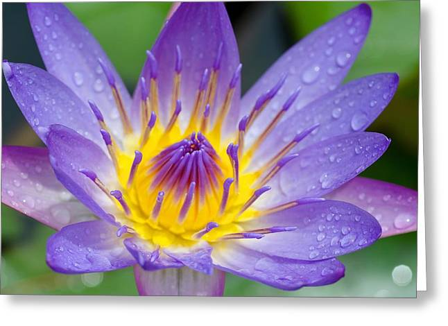 Hana Water Lily Greeting Card