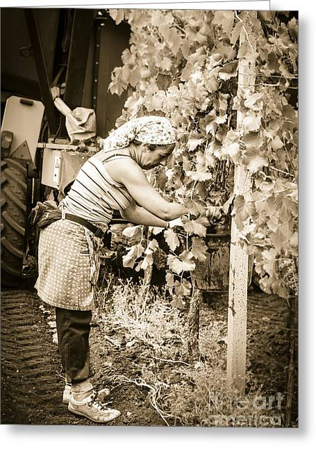 Hand Pickers Following The Mechanical Harvester Harvesting Wine  Greeting Card