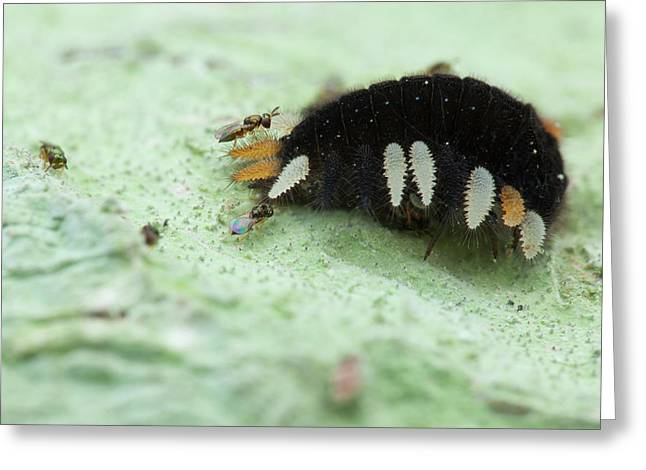 Handsome Fungus Beetle Larva And Wasps Greeting Card by Melvyn Yeo