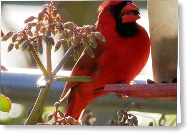 Handsome Red Male Cardinal Visiting Greeting Card