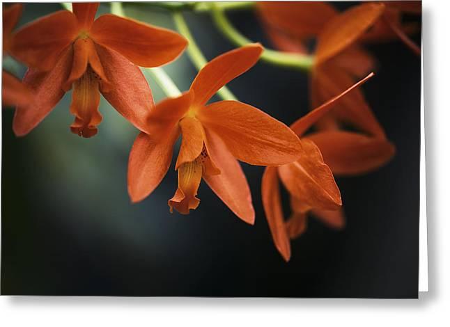 Hanging Orange Cattleya Orchid Greeting Card by David Waldo