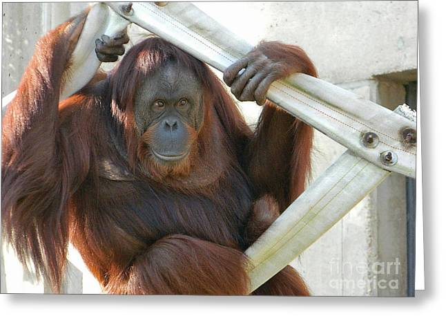 Greeting Card featuring the photograph Hanging Out - Melati The Orangutan by Emmy Marie Vickers