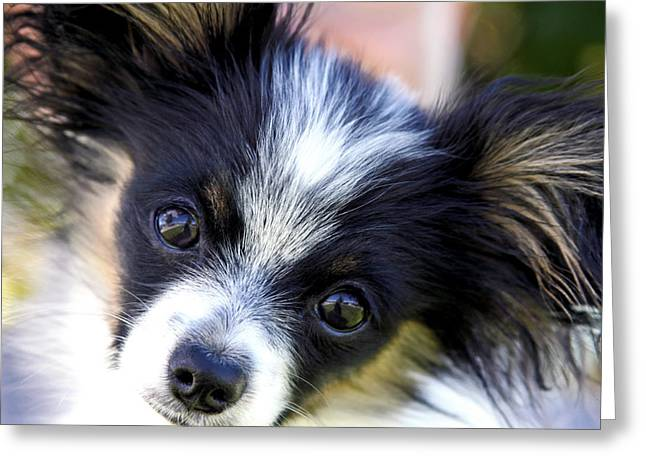 Greeting Card featuring the photograph Hanna The Papillon Puppy by Karon Melillo DeVega