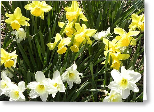 Happy Daffodils  Greeting Card by Cim Paddock