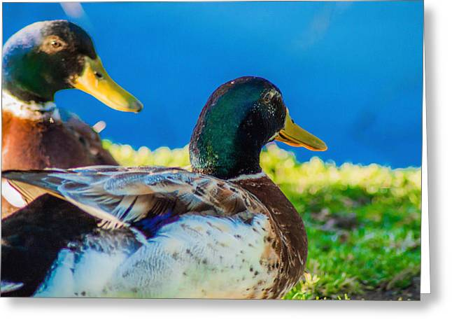 Happy Little Ducks  Greeting Card by Naomi Burgess