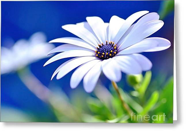 Happy White Daisy 2- Blue Bokeh  Greeting Card