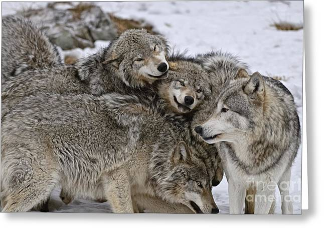 Happy Wolf Pack Greeting Card by Wolves Only