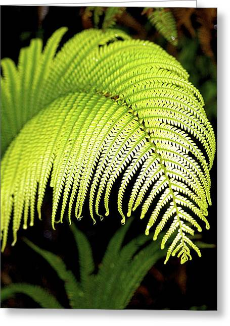 Hapu'u Fern Frond Greeting Card by Lehua Pekelo-Stearns