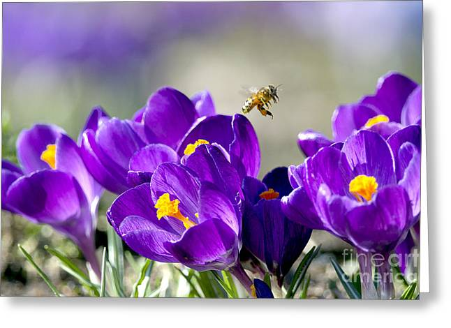 Harbinger Of Spring Greeting Card by Sharon Talson