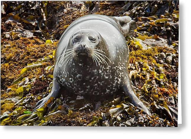 Harbor Seal Greeting Card by Alice Cahill