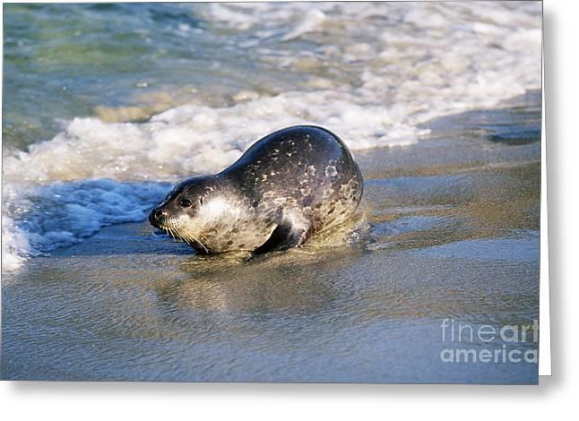 Harbor Seal Greeting Card by David Davis