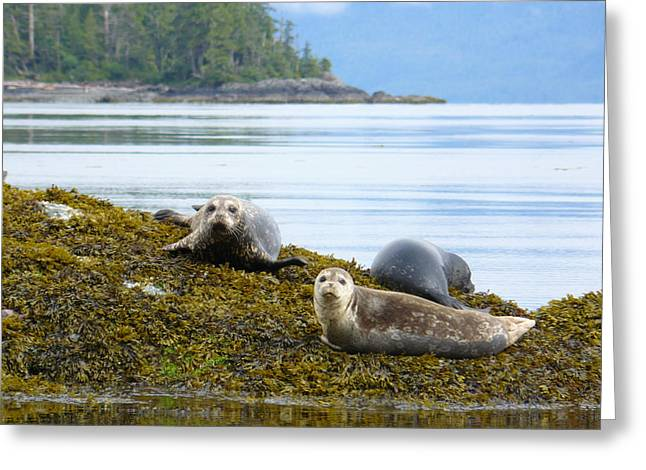 Harbor Seals 2 Greeting Card by Krista Keck