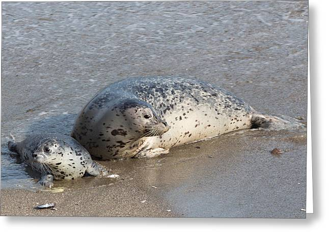 Harbor Seals In The Surf Greeting Card