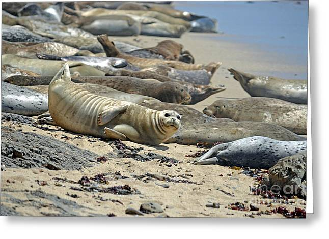 Harbor Seals Lounging On The Beach At Fitzgerald Reserve Greeting Card by Jim Fitzpatrick