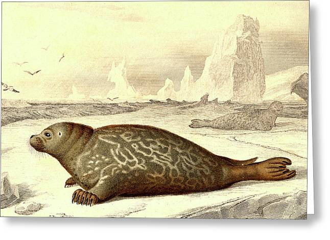 Harbour Seal Greeting Card