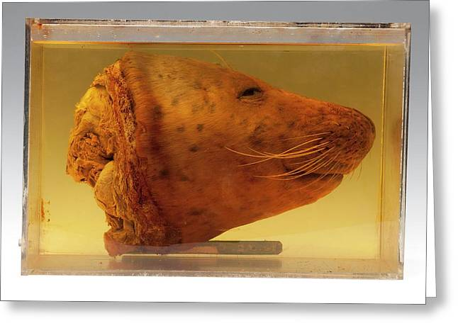 Harbour Seal Head Greeting Card by Ucl, Grant Museum Of Zoology