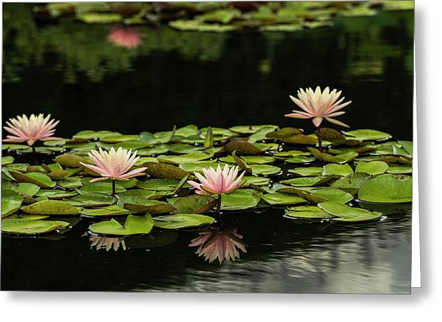 Hardy Waterlilies, Marliaceae Carnea Greeting Card by F. M. Kearney