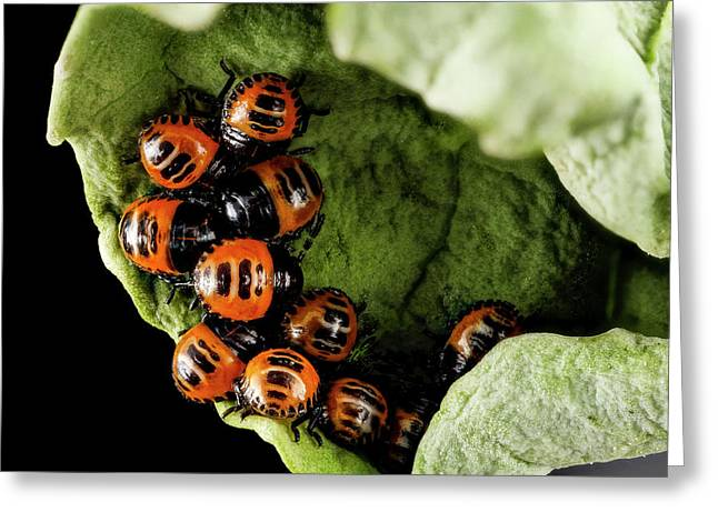 Harlequin Cabbage Bug Nymphs Greeting Card