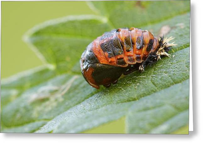 Harlequin Ladybird Pupa Greeting Card