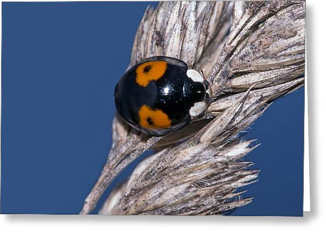 Harlequin Ladybird Greeting Card by Science Photo Library