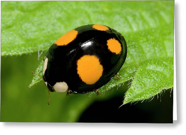 Harlequin Ladybird Spectabilis Form Greeting Card by Nigel Downer