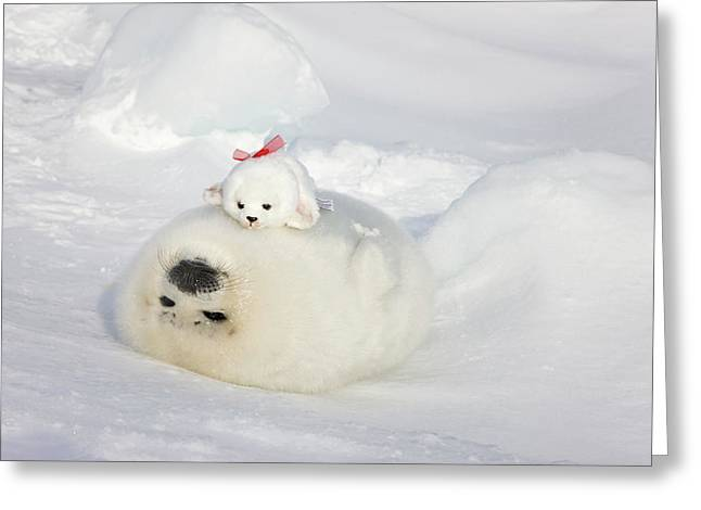 Harp Seal Pup And Stuff Seal Toy Greeting Card