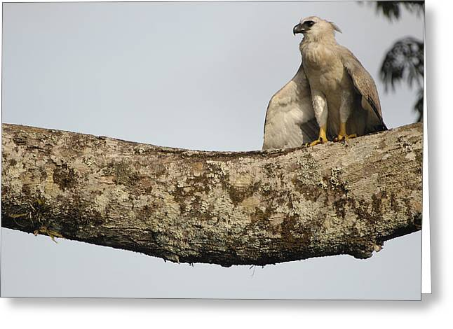 Harpy Eagle Chick In Kapok Tree Greeting Card by Pete Oxford