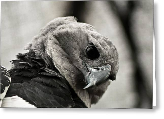 Harpy Eagle Closeup Greeting Card