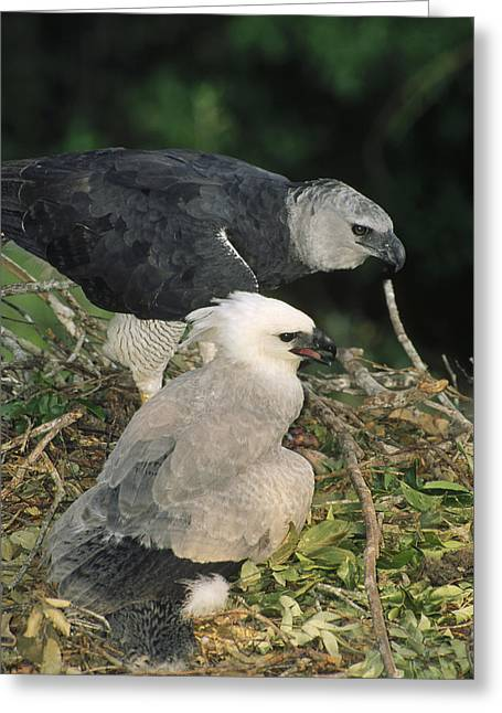 Harpy Eagle Female And Chick Amazonian Greeting Card