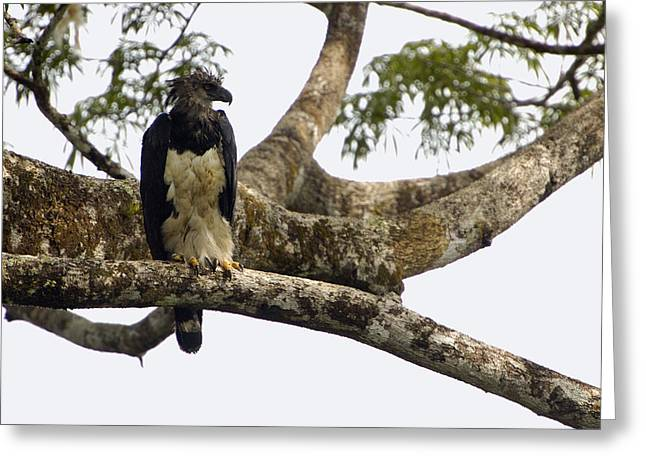 Harpy Eagle In Kapok Tree Greeting Card