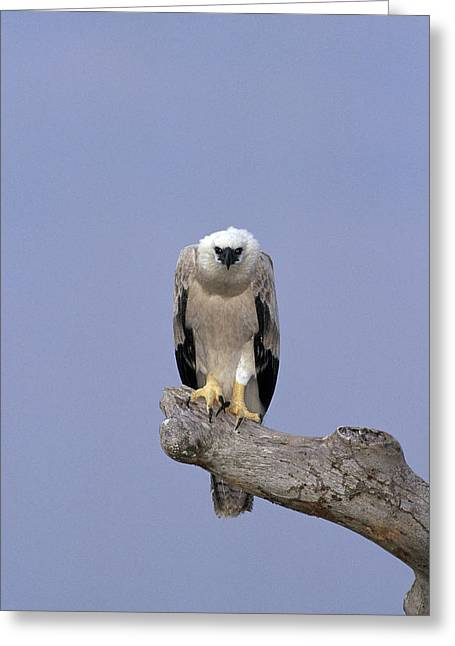 Harpy Eagle Juvenile Silk-cotton Tree Greeting Card