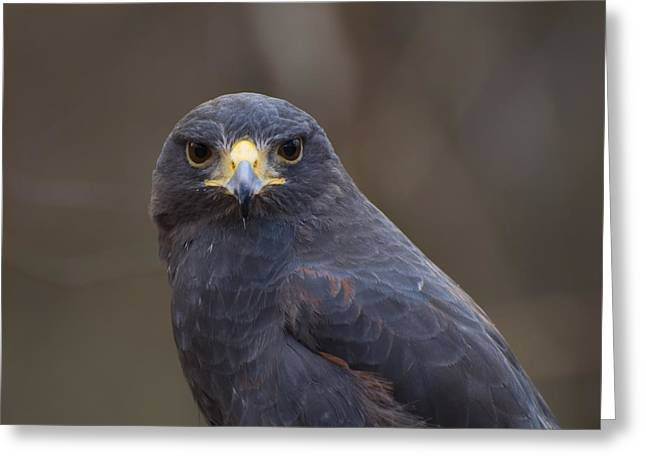 Harris Hawk Greeting Card by Chris Flees