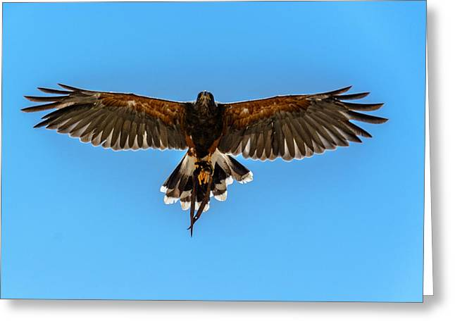 Harris Hawk In Flight Greeting Card by Randy Scherkenbach