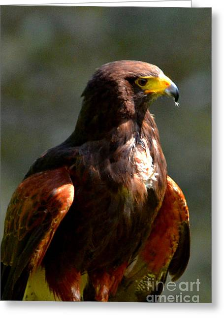 Harris Hawk In Thought Greeting Card