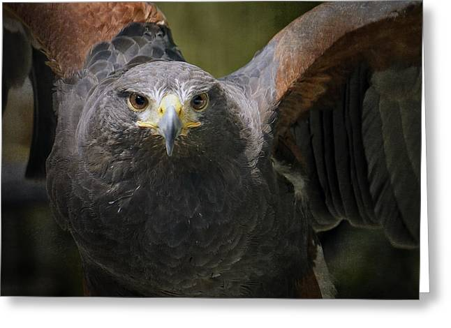 Harris Hawk Greeting Card by Inge Riis McDonald
