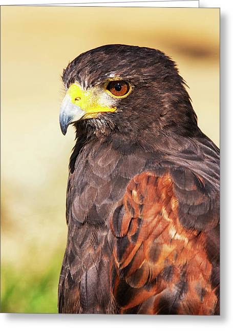 Harris Hawk (parabuteo Unicinctus Greeting Card by Piperanne Worcester