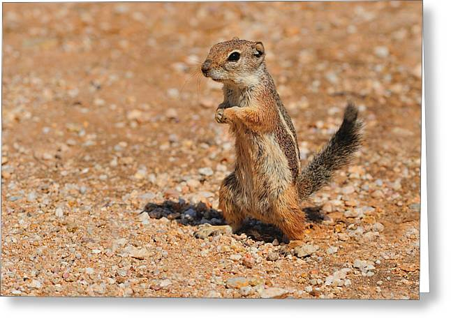Harris's Antelope Squirrel Greeting Card by Tony Beck