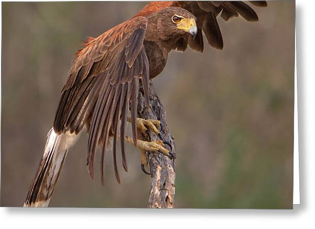 Harris's Hawk 1 Greeting Card by Jerry Fornarotto