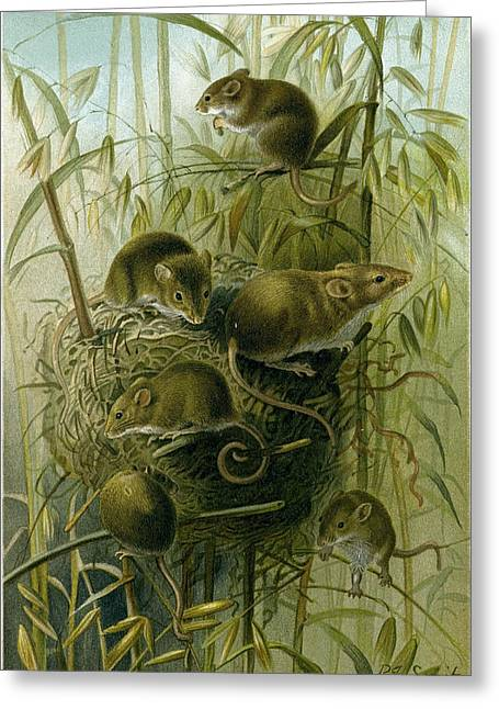 Harvest Mouse Greeting Card