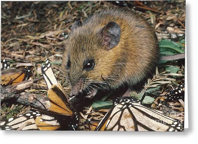 Harvest Mouse Feeds On Monarchs Greeting Card
