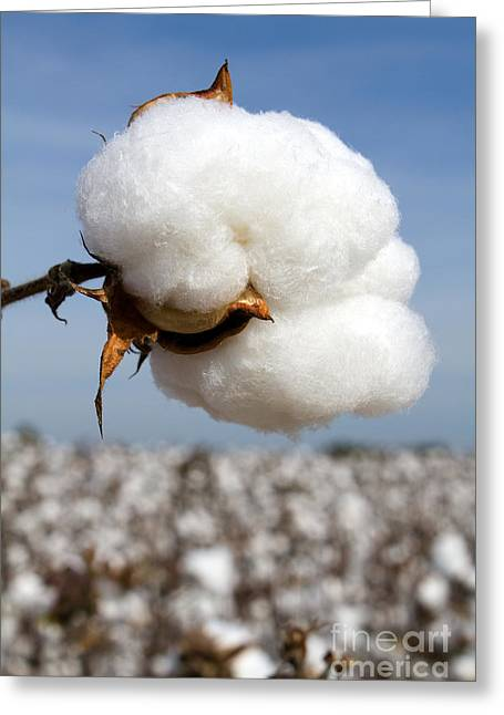 Harvest Ready Cotton Boll Greeting Card