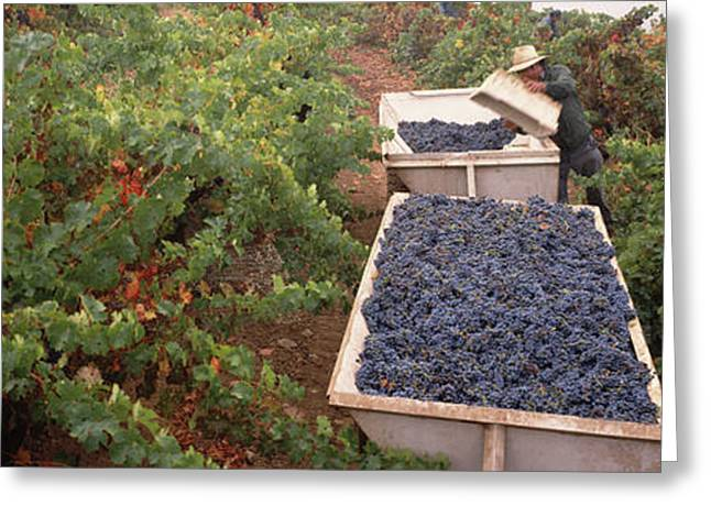 Harvesting Grapes In A Vineyard, Napa Greeting Card by Panoramic Images