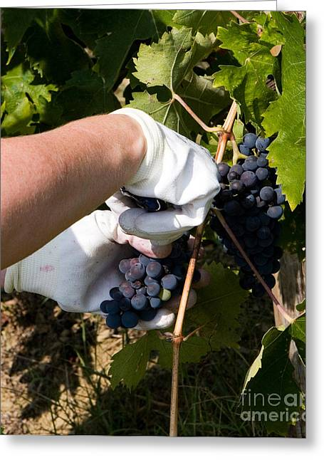 Harvesting Grapes Greeting Card by Tim Holt